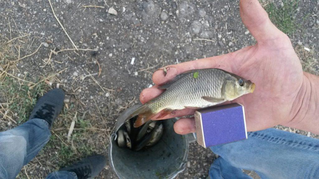 толстолобик белый рыба